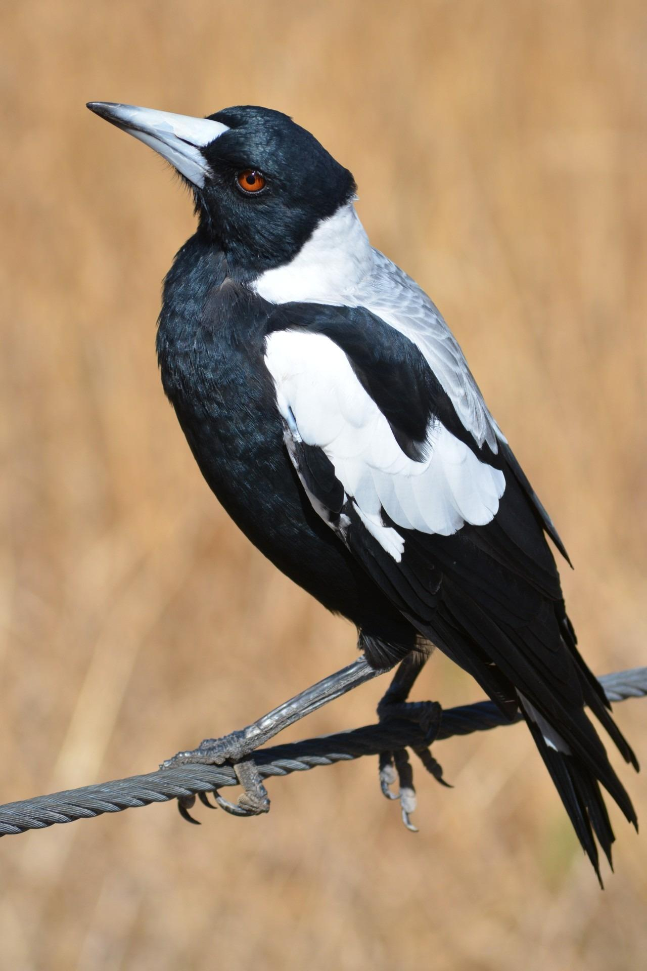 australian magpie on branch stock image