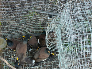Myna birds in trap